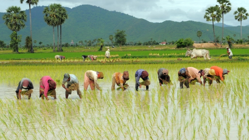 cambodia_rice_farming.jpg